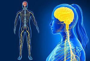 Связь двух систем: здоровые сосуды – крепкие нервы