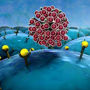 Защита от коронавируса у тех, кто не болел: ученые нашли у здоровых людей иммунные клетки, распознающие SARS-CoV-2
